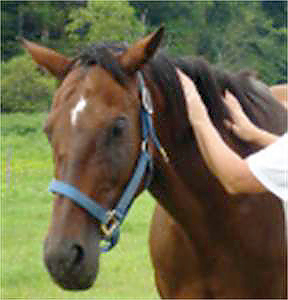 Horse being treated by an Equine Reiki therapist